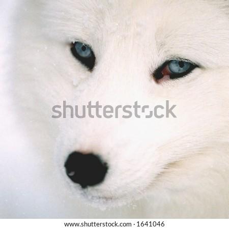 head shot of arctic fox in winter (captive rehabilitation) - stock photo