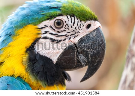 Head shot of beautiful Blue and Gold Macaw bird - Soft focus - stock photo