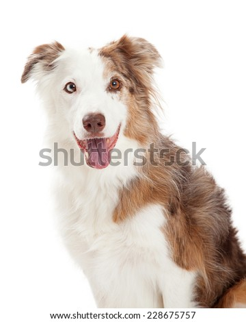 Head Shot of Border Collie Dog looking forwards into the camera.