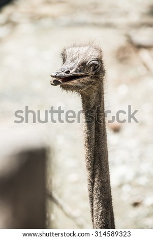 Head shot of Common Ostrich, Thailand.