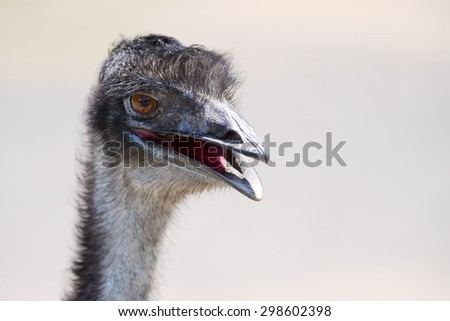 Head-shot of emu with its beak open - stock photo