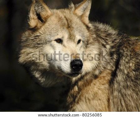 Head shot of grey wolf - stock photo