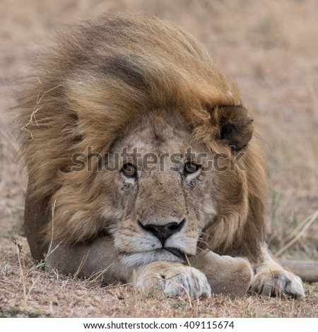 Head shot of Lion lying in grass taken in the Masai Mara in Kenya