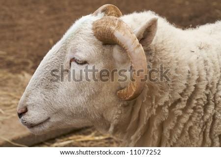 Head shot of male sheep - landscape orientation - stock photo