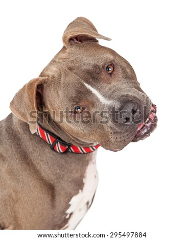 Head shot of Pit Bull Terrier Dog looking curiously into the camera and tilting his head. - stock photo