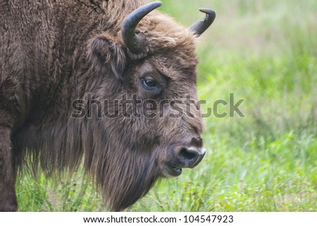 head shot of rare European bison (Bison bonasus) over grass field background