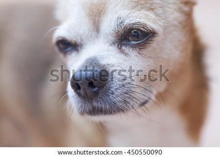 Head shot of sad chihuaqhua - stock photo