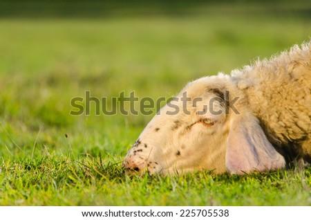 Head shot of sheep lying on the grass - stock photo