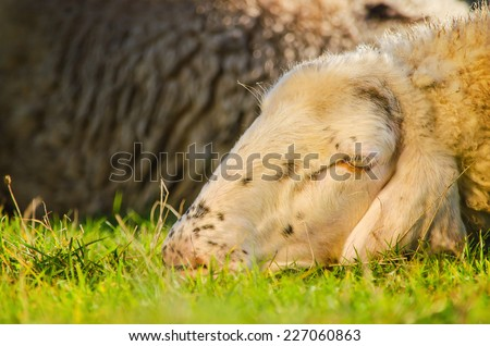 Head shot of sheep lying on the grass