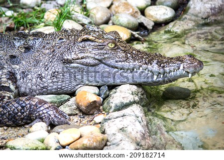 Head Shot of Siamese Crocodile  - stock photo