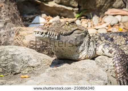 Head Shot of Siamese Crocodile - stock photo