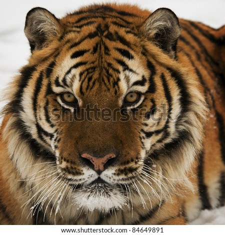 Head Shot of Siberian Tiger - stock photo