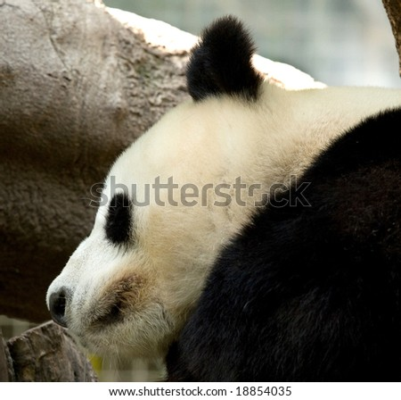 head shot of sleeping panda