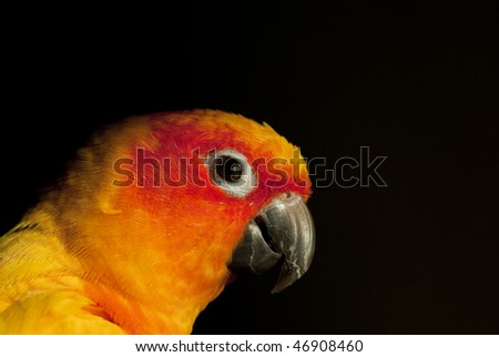 Head shot of Sun Conure, a parrot from Central and  America - stock photo