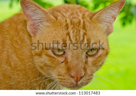 Head shot of Thai cat on green background, Thailand.