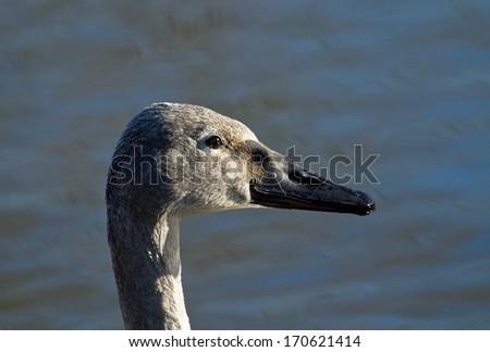 Head shot of Trumpeter Swan Cygnet in winter sunlight - stock photo