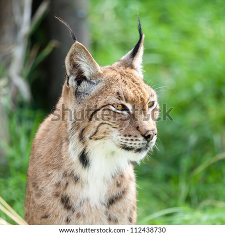 Head Shot Portrait of Eurasian Lynx against Greenery - stock photo