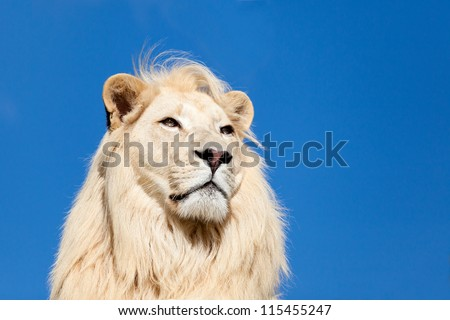 Head Shot Portrait of Majestic White Lion against Blue Sky Panthera Leo