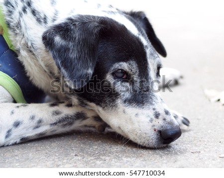 head shot portraits close up of a black and white dalmatian dog no purebred laying on the gray color concrete garage floor outdoor under direct natural sunlight lin summer