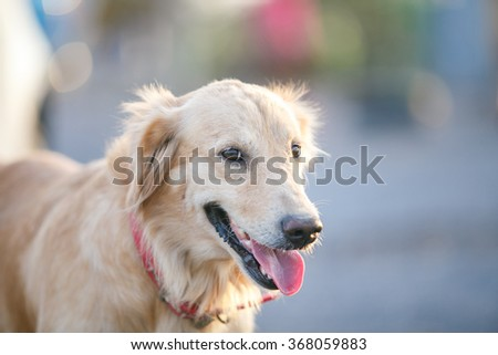 Head shot young golden retriever with red collar,thin focus at eye.