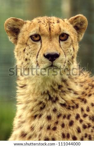 Head view of cheetah - stock photo