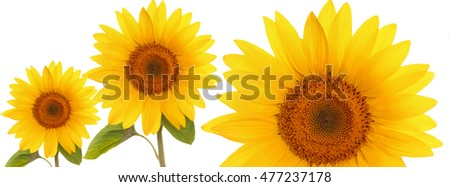 header web  panorama sunflower flower full length  on stem with leaves on white background   cover