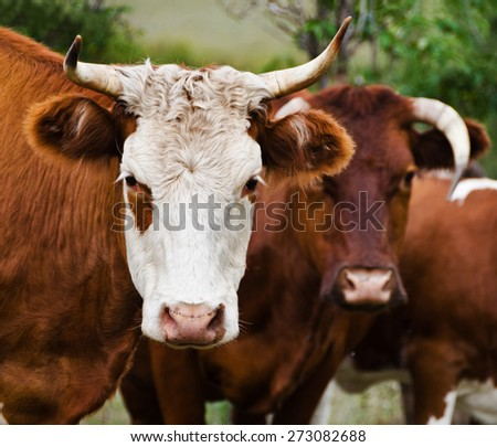 Heads of a cows against a pasture  - stock photo