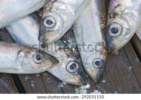 Heads of a group of newly catch of baltic herring laying on the bridge - stock photo