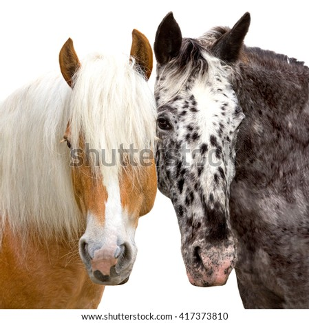 Heads of a Haflinger and Knabstrupper Horse looking friendly and close together. - stock photo