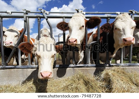 heads of cow in farmland in summer