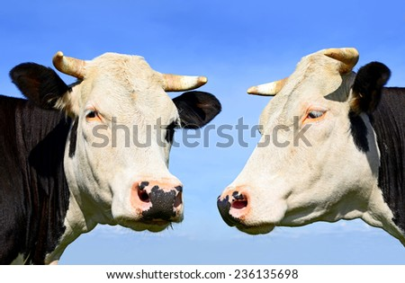 Heads of cows against the sky - stock photo