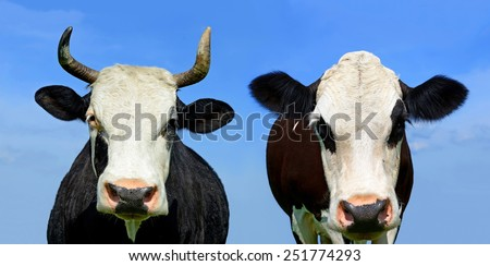 Heads of cows against the sky