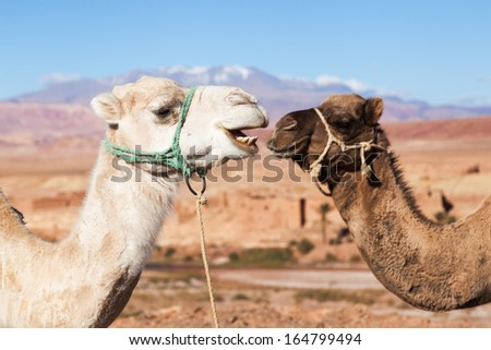 heads of two dromedary in the High Atlas in Morocco - stock photo