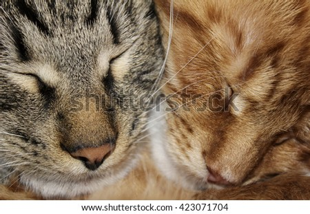 heads of two red and gray fluffy tabby cats