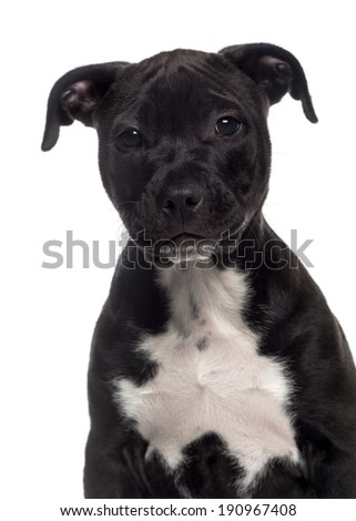 Headshot of a American Staffordshire Terrier puppy (3 months old)