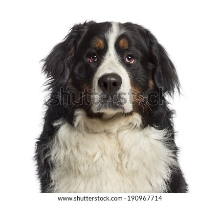 Headshot of a Bernese Mountain Dog (18 months old) - stock photo