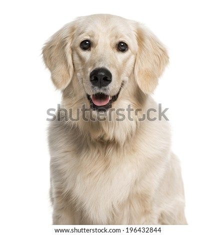 Headshot of a Golden Retriever (1 year old) - stock photo