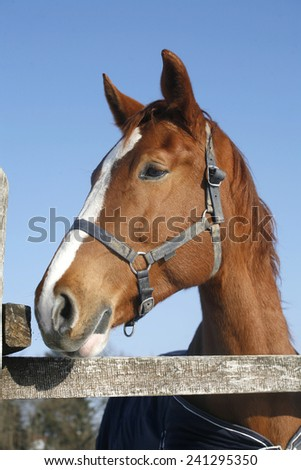 Headshot of a thoroughbred horse in winter pinfold - stock photo