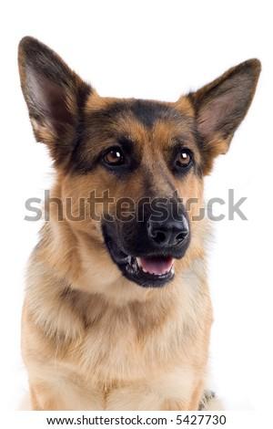 headshot of agerman shepherd dog - stock photo