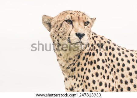 Headshot of cheetah against white background. Tenikwa wildlife sanctuary. Plettenberg Bay. South Africa. - stock photo