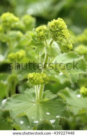 Healing Alchemilla vulgaris - stock photo