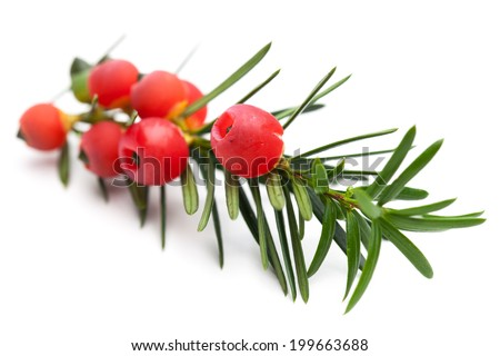healing plants: Branch of a yew (Taxus baccata) with berries