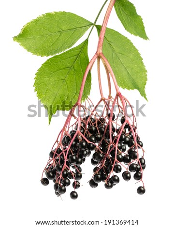 healing plants: Elderberry (sambucus) twig with berries on white background - stock photo