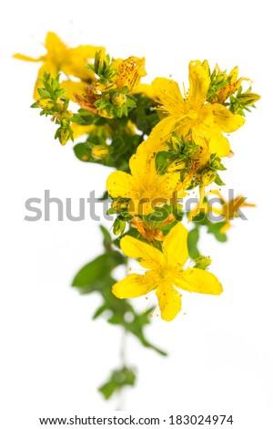 healing plants: St. John's Wort (Hypericum perforatum) on white background from a bird�´s eye view - stock photo