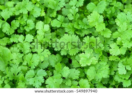 Health benefits of coriander. Coriander is loaded with antioxidants.