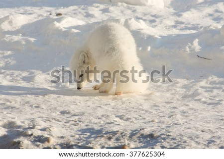 Healthy adult arctic fox sniffing for food in the arctic. - stock photo