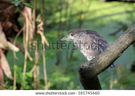 Healthy American Bittern in a swamp, looking for food - stock photo