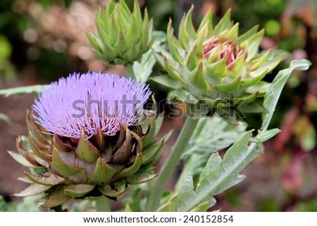 Healthy artichoke flowers growing in tropical queensland garden - stock photo