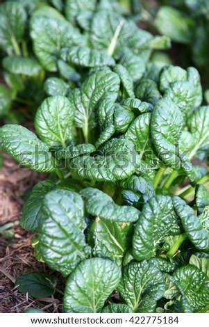 Healthy asian greens including bok choi and misome - stock photo
