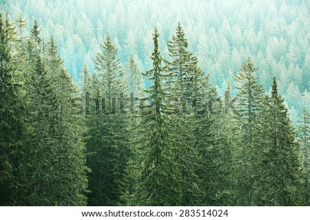 Healthy, big green coniferous trees in a forest of old spruce, fir and pine trees in wilderness area of a national park. Sustainable industry, ecosystem and healthy environment concepts.  - stock photo